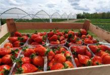 Ceny truskawek 2021. Sezon powoli nabiera rozpędu
