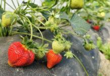 Import owoców spoza UE – Hiszpańscy producenci protestują