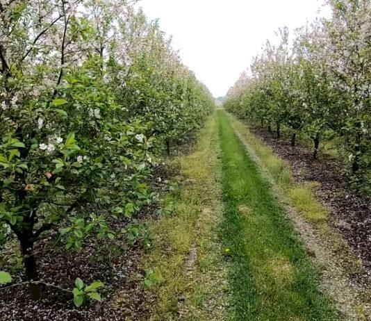Kwitnienie wiśni w powiecie lipskim 2021 [Video]