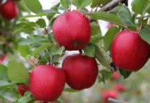 Program na jędrność owoców deserowych