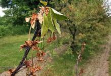 Wiśnie – widoczne objawy moniliozy
