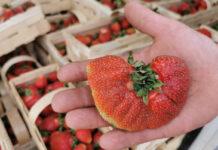 Ceny truskawek spadły, a na rynku duży ruch – relacja z Nowego Przybojewa