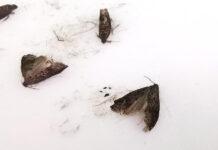 owocówka śliwkóweczka