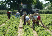 Ile zapłacić od zbioru truskawek?