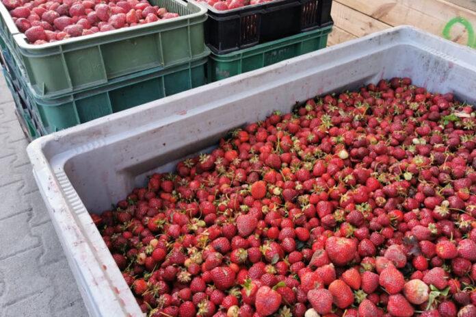 skup truskawek