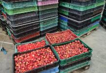 Czy zakłady skupią wystarczającą ilość truskawek?
