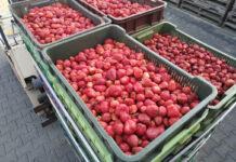 Kiedy rozpocznie się skup truskawek?