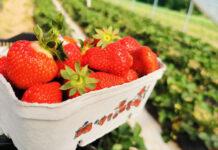 Ceny truskawek w hurcie – widoczna stabilizacja