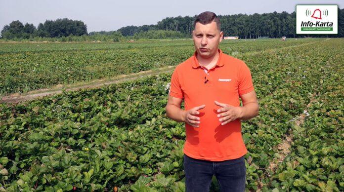 Tomasz Domański - zalecenia w uprawie truskawek po zbiorach