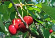czereśnie na drzewie