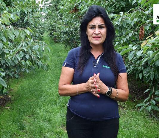 Ochrona i nawożenie sadów czereśniowych i wiśniowych po zbiorach – komunikat sadowniczy Agrosimex