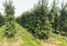 Letnie cięcie jabłoni w tym sezonie zyskuje na znaczeniu