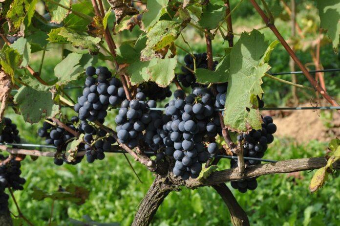 Uprawa winorośli - winoogrodnictwo