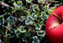 zima jabłko