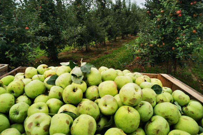 Tarcia na rynku jabłek przemysłowych?