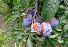 Mołdawia: Ulewne deszcze utrudniają sezon śliwkowy