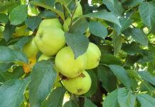 Czemu z polskich sadów praktycznie zniknął Honeygold?