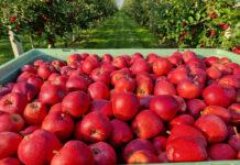 jablka marketing