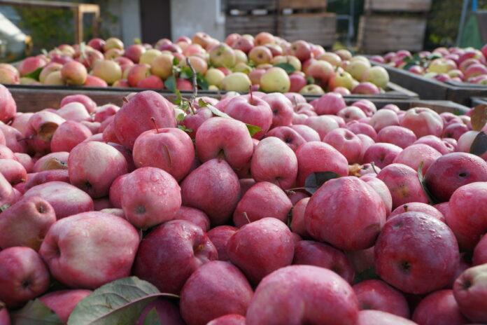 kontraktacja jabłek przemysłowych