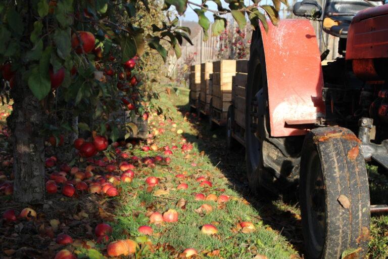 Zakłady przetwórcze zaimportowały koncentrat jabłkowy za 160 mln zł!