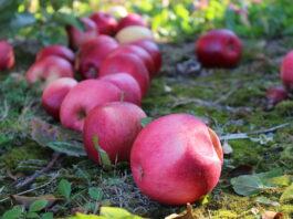 jjabłka przemysłowe