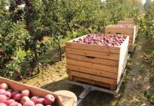 jabłka zbiór