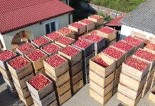 Niskie, ale stabilne ceny jabłek przemysłowych